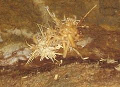 Anthodites (Skyline Caverns, Front Royal, Virginia, USA) 13 (James St. John) Tags: anthodite anthodites speleothem calcite aragonite skyline caverns virginia ordovician beekmantown group rockdale run formation front royal warren county