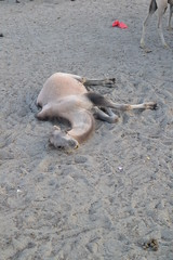 quit! (maybe) (sootix) Tags: sand camelride bactriancamel