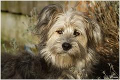 Bruc (7D024331) (Hetwie) Tags: dog pet nederland hond lente huisdier noordbrabant bruc helmond