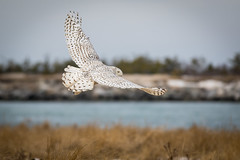 Snowy Owl (djrocks66) Tags: white nature birds animals canon landscapes seascapes snowy mark wildlife feathers ii 7d owl