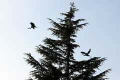 two herons in a fir tree (overthemoon) Tags: winter sky tree birds schweiz switzerland suisse silhouettes lausanne svizzera herons désert vaud romandie pierrefleur parcrivier hérons 1j1t utata:project=tw465