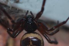 Body hair - what me (Procrustes2007) Tags: uk england spider suffolk britain wildlife arachnid flash nikond50 sudbury invertebrate wildlifephotography tamron2xteleconverter falsewidow steatodanobilis nikkor50mmais vivitarextensionrings68mmtotal d50nocturnalmacro