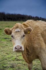 DSC_0412 (mary~lou) Tags: field animal cow nikon farm lookingatyou maryfletcher 15challengeswinner mary~lou