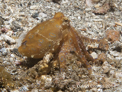 Lembeh - Serena Point (CATDvd) Tags: indonesia pop octopus pulpo lembeh underwaterphotography fotosub catdvd lembehstrait blueringoctopus canonpowershotg9 davidcomas indonsia estrechodelembeh estretdelembeh httpwwwdavidcomasnet httpwwwflickrcomphotoscatdvd serenapoint sukawesi august2014 popdanellsblaus pulpodeanillosazules