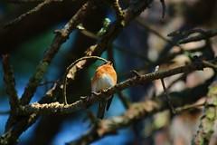 IMG_4265 (SweetMeow) Tags: home birds yard bluebird hiltonhead
