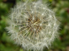 3-13-15 029 (LeeLee's pictures) Tags: 31315 mississippiriver woods nature dandelions yellow flower wildflower weeds makeawish white flyaway