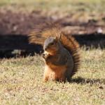 Squirrels at the University of Michigan (March 12, 2015) thumbnail