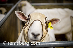 Close-up of lamb  (Ovis Aries)wearing sheep hood at a Pennsylvania Farm Show in Harrisburg, Pennsylvania, USA (Remsberg Photos) Tags: show usa hat pen trapped eyecontact sheep mask head pennsylvania coat farming tagged event cover covered stare lamb hood farmer agriculture harrisburg staredown lookingout farmshow ovisaries shallowfieldoffocus