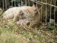 cat (Frannilu) Tags: cute cat wildlife lion kitty gato gatti