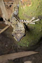Polypedates macrotis IMG_8095 copy (Kurt (OrionHerpAdventure.com)) Tags: amphibian frog amphibians treefrog herps herpetology amphibia herpetofauna tropicalfrogs polypedates polypedatesmacrotis darkearedtreefrog