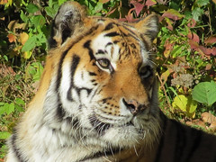 Amur Tiger (3) (bookworm1225) Tags: zoo october 2014 minnesotazoo northerntrail tropicstrail