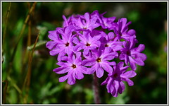 Purple Sand Verbena (tdlucas5000) Tags: california pink flowers lake flower green sand purple bokeh diamond southern valley wildflowers verbena