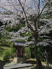 Sakura:Yamashina Hachimangu Shrine( (Hisa-nori) Tags: japan kyoto shrine cherryblossom sakura
