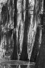 Cypress Trees draped in Spanish Moss (Bill Hertha) Tags: plant tree water landscape moss thing equipment swamp locale imagetype canonfd200mmf28 registeredcopyright121964830212015janfebunpblished