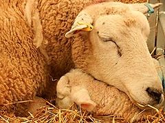 Happiness...is a newborn lamb... (BAKAEDAR) Tags: sheep happiness lambs exmouth flickrfriday bictoncollege bictoncollegelambingsunday