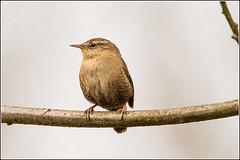 Wren (Troglodytes troglodytes) Explored 9/4/15 (Smudge 9000) Tags: uk england birds unitedkingdom wren avian stodmarsh 2015 nnr cityofcanterbury