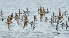 Godwits and Dowitchers- banking (vnelson) Tags: birds bif shorebirds