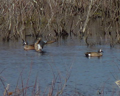Blue-winged Teal (Dendroica cerulea) Tags: bird birds duck newjersey spring teal nj aves waterfowl anas greatswamp morriscounty anatidae bluewingedteal anseriformes anasdiscors anatinae greatswampnwr galloanserae