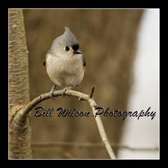 Tufted Titmouse (wildlifephotonj) Tags: bird nature birds wildlife tuftedtitmouse songbirds naturephotography naturephotos wildlifephotography wildlifephotos natureprints wildlifephotographynj naturephotographynj
