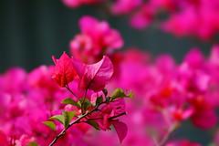 Paper Flower (ddsnet) Tags: plant flower sony bougainvillea 99   slt paperflower     singlelenstranslucent 99v