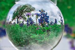 Nolanville to Stillhouse-4 (KLMP) Tags: flowers usa spring texas fields wildflowers bluebonnets crystalball nolanvilletostillhousehollow nolanvilletostillhousehollowlake