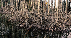 freaky nature (girlfromdipolog) Tags: trees island apo mangrove dumaguete