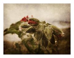 granium rose (Kinse) Tags: paololivornosfriends