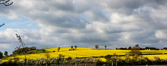 112/365 Fields of Gold (princesspink 77) Tags: yellow clouds gold spring day112 rapeseed rapefields day112365 365the2015edition 3652015 22apr15