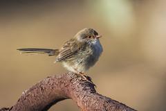 Superb Fairywren 2015-04-09 (_MG_2625) (ajhaysom) Tags: australia melbourne australianbirds greenvale superbfairywren maluruscyaneus canoneos60d sigma150600 woodlandshistoricpark