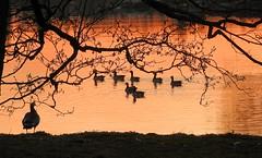 On the lookout (KaarinaT) Tags: sea orange water silhouette finland geese helsinki dusk flock balticsea goose barnaclegeese laajasalo tullisaari