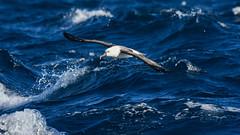 Yellow-Nosed Albatross (TerrenceSly) Tags: ocean blue red bird water animal yellow waves wildlife birding sydney telephoto albatross nosed