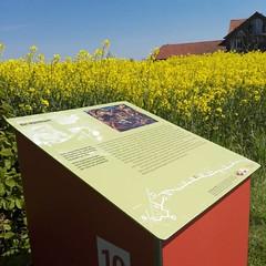 Bckstiegel-Pfad #werther #boeckstiegel (WrldVoyagr) Tags: field yellow germany square smartphone squareformat canola rapeseed werther rapsfeld bckstiegel iphoneography instagram instagramapp uploaded:by=instagram
