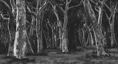 Scribbly Bark Gum (StephEvaPhoto) Tags: blackandwhite tree monochrome gum blackwhite australia nsw newsouthwales fullframe gumtree canoneos blackandwhitephotography 6d scribblybark monochromephotography kangaloon scribblybarkgumtree canoneos6d canonef70200f40lisusm southernhighlandsandtablelands