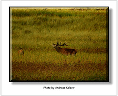 Dar 2015 (137) (Vogelfoto69) Tags: germany born nationalpark natur region wald ostsee prerow barth reddeer ahrenshoop leuchtturm jgermeister deerhunting darss wildschwein zingst bodden mecklenburgvorpommern windpark 2015 wiek dars naturschutz naturfoto rothirsch brunft 25jahre seeadler kernzone spieser vorpommersche boddenlandschaft hirschbrunft fischlanddarszingst darserort natureum naturfilm rothirsche kahlwild andreaskalbow darserarche 20ender