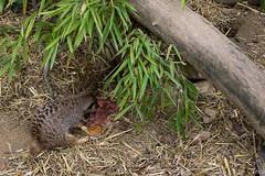 Zoo_Do_2016-46.jpg (Wotan1081) Tags: zoo dortmund tier erdmnnchen