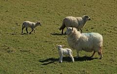 Look, Mam, I'm a Heelan Coo (RoystonVasey) Tags: wales canon happy eos sheep zoom m valley lamb 1855mm stm snowdonia cwm aberdovey aber ewe snp dyfi maethlon