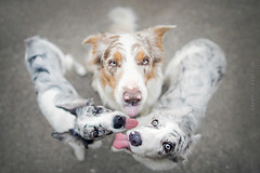 Family  (Alicja Zmysowska) Tags: blue dog dogs puppy puppies collie border lilac tricolor slate merle bordercollies merles