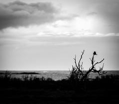 Short-eared owl (Larsenio) Tags: heron norway landscape norge pentax hawk north norwegen norwegian owl nordic northern owls fa midnightsun norvege hawkowl norsk ugle ffa nordland andøy hegre shorteared northernnorway nordnorsk fa300 haukugle jordugle pentaxk5