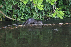 European otter (Lutra lutra) with lamprey (9) (Geckoo76) Tags: river otter lamprey europeanotter