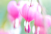 Pink Bleeding Hearts (CCphotoworks) Tags: macro bokeh mayflowers prettyflowers perennialplants nature gardens springtime pinkflowers pinkbleedinghearts bleedinghearts ccphotoworks
