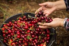 Dulces Manos ([MKDO]) Tags: cherry dof sweet bokeh manos freelance airelibre cereza ands rstico canasto