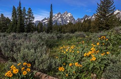 Balsamroots In The Tetons (Cole Chase Photography) Tags: canon wildflowers wyoming grandtetons balsamroot tetonnationalpark eos5dmarkiii