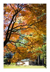 A Colourful Autumn (red stilletto) Tags: autumn trees orange tree yellow autumnleaves sassafras autumnleaf thedandenongs