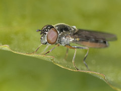 Fly Eye (Al Abbasi) Tags: eye fly compound