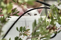 The cat who spies (jbsoros) Tags: white cat basil siamoi