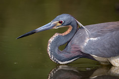 Headlock (gseloff) Tags: bird fishing texas wildlife pasadena tricoloredheron armandbayou kayakphotography gseloff