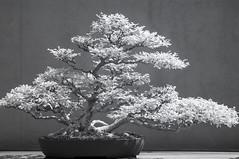 DSC_3918s (An Xiao) Tags: arboretum bonsai penjing