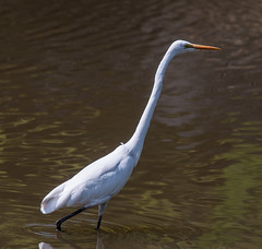 Ardea Alba Modesta (TheSpaceWalker) Tags: bird heron japan photography photo nikon sigma pic nara 70200 d300 ardeaalbamodesta easterngreategret thespacewalker