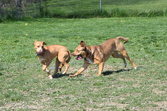 2016-05-07 10.21.46 (A Place for Paws) Tags: foster chance apap playday