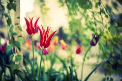 Beautiful Tulips;Salzburg,Austria (# My Way #) Tags: salzburg austria tulips bokeh depth nikkor35f14 salzburginnsbrug2016